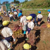 サツマイモの芋掘り体験